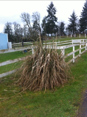how to get rid of pampas grass